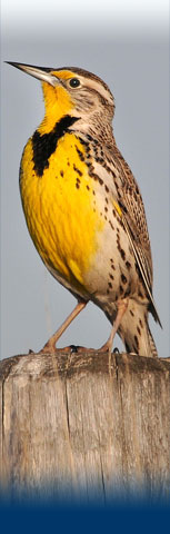 home-meadowlark.jpg